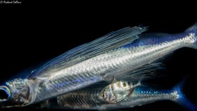 Flying Fish with Larval Jack