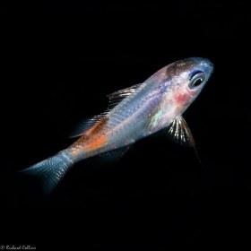 Larval Basslet - Palm Beach, Florida