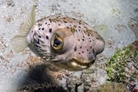 Ballonfish – Florida