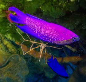 Blackcapped Basslet and Arrow Crab – Cozumel