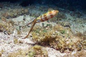 Caribbean Reef Squid – Cozumel