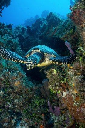 Hawksbill Turtle – Cozumel