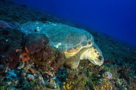 Loggerhead Turtle – Cozumel