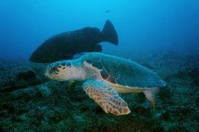 Loggerhead Turtle and Goliath Grouper - West Palm Beach, FL