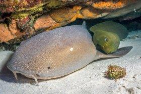 Nurse Shark and Green Moray – Cozumel
