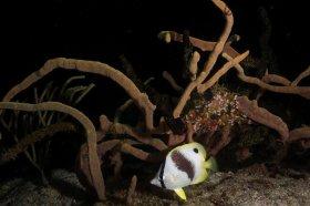 Spotfin Butterflyfish at night – Cozumel