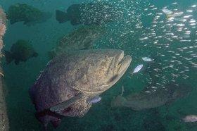 Goliath Grouper – West Palm Beach, FL