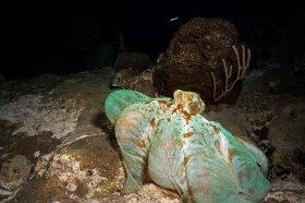 Caribbean Reef Octopus – Cozumel