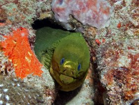 Green Moray with previously undescribed tissue fluke (I count this as my discovery of a new species} - West Palm Beach, FL