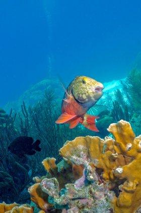 Spotlight Parrotfish – Bonaire