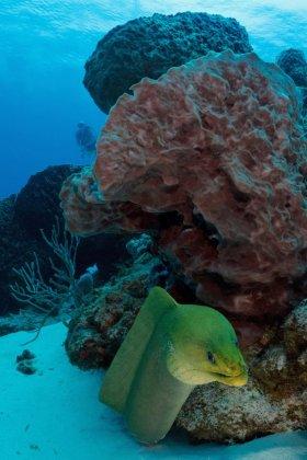 Green Moray – Cozumel