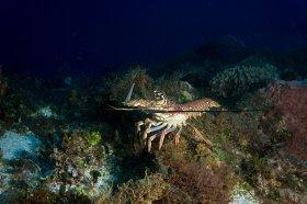 Spiny Lobster – Cozumel