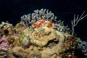 Spotted Scorpionfish - Cozumel