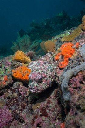 Spotted Scorpionfish – FL