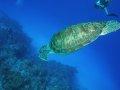Green Turtle – Cozumel