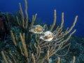 Smooth Trunkfish – Cozumel