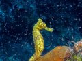 Yellow Seahorse – Cozumel