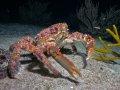 Clinging Crab – Cozumel