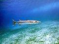 Great Barracuda – Cozumel