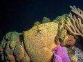 Brittle Star on Sponge – Cozumel