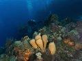 Tubalate Sponges – Cozumel