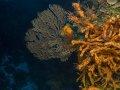 Sea Fan and Sponges on Cozumel wall