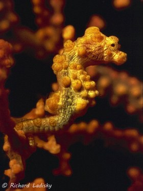 Pigmy Seahorse: Bunakin Islands, Sulawesi, Indonesia. Finally not looking the other way! © Richard Ladisky, All Rights Reserved.