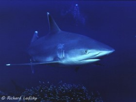 Silvertip Shark: Breeding ground north of New Ireland Island, Papua New Guinea. © Richard Ladisky, All Rights Reserved.