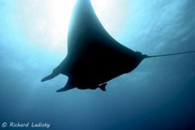 Manta Ray: Socorro (Revillagigedos) Islands. Averaging 20 foot wing span. © Richard Ladisky, All Rights Reserved.