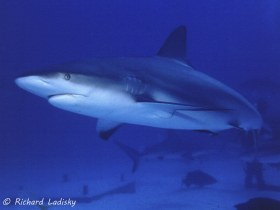 Reef Shark: Bahama Islands. One of 25 encountered on one dive. © Richard Ladisky, All Rights Reserved.