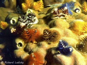 Christmas Tree Worms: Philippines. Largest concentration seen in one place. © Richard Ladisky, All Rights Reserved.