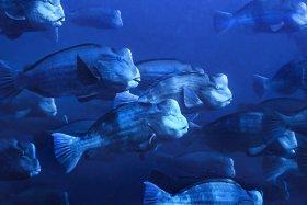 Bump Head Parrot Fish Aggregation, Palau