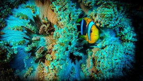 Orange clown anemone fish, Wakatobi Pelagian