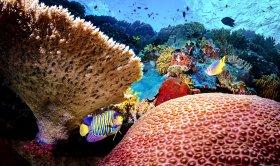Queen Angel Reef, Wakatobi