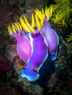 Nudibranch - Hypselodoris apolegma, Bali