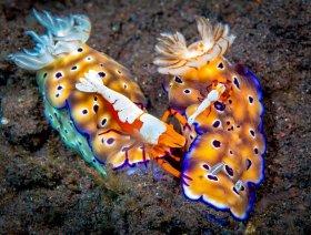 Emperor Shrimps riding Spotted Nudibranch, Bali