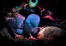 Blue Moray Eel Wedding party w cleaner shrimp, Bali