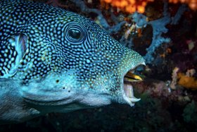 Blue Spotted Puffer Fish being cleaned, Bali