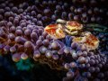 Anemone Porcelian Crab, Bali