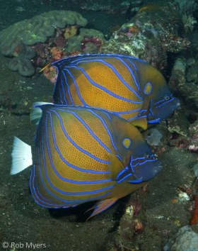 A pair of Blue-ringed angelfish (Pomacanthus annularis) search their home wreck for sponges to browse. 35 cm, 15 m, Bali. © Rob Myers, All Rights Reserved.