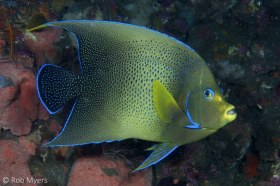 The Semicircle angelfish (Pomacanthus semicirculatus) inhabits primarily coastal reefs of the tropical western Pacific and Indian Oceans. 30cm, 20 m, Tulamben, Bali. © Rob Myers, All Rights Reserved.