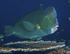 A large Humphead parrotfish (Bolbometapon muricatum) awaits its turn at a cleaning station above a table coral. 120 cm, 16 m, Bali. © Rob Myers, All Rights Reserved.