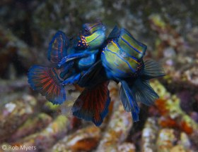 A pair of Mandarinfish (Synchiropus spendidus) produce the next generation. 4-5 cm, 8m, Negros, Philippines. © Rob Myers, All Rights Reserved.