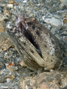 The Spotted spoon-nose eel (Echiophis intertinctus) has teeth as formidable as those of many moray eels, but when harassed, prefers to disappear into the sand rather than defend itself. 40 cm, 5 m, Lake Worth, FL. © Rob Myers, All Rights Reserved.