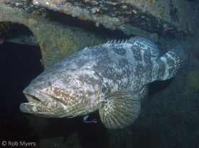 A Goliath grouper (Epinephelus itajara) hovers near a doorway in its wreck. It can grow to a length of at least 240 cm (7.9 ft) and weight of 316 kg (697 lbs). 150 cm, 25 m, Delray Beach, FL. © Rob Myers, All Rights Reserved.