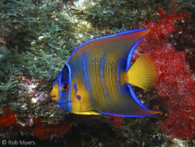 This adolescent Queen angelfish (Holacanthus ciliaris) is starting its transition into the adult color phase. 9 cm12 m, Cancun, Mexico. © Rob Myers, All Rights Reserved.