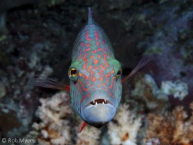 The Cheeklined wrasse (Oxycheilinus digrammus) is a curious and nearly fearless predator of small fishes. 15 cm, 14 m, Nomena NP, Fiji. © Rob Myers, All Rights Reserved.