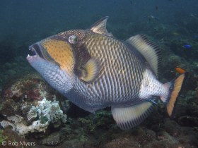 The Titan triggerfish (Balistoides viridescens) can be dangerously aggressive, particularly when guarding its nest. Its massive teeth can cause serious wounds. 50 cm, 5 m, Bali. © Rob Myers, All Rights Reserved.