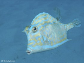The scrawled cowfish (Acanthostracion quadricornis) frequently ventures over large stretches of open sand, far from the shelter of the reef. 28 cm. 12 m, Key Biscayne, FL. © Rob Myers, All Rights Reserved.