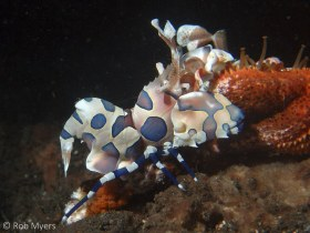 The spectacular Harlequin shrimp (Hymenocera picta) feeds exclusively on starfishes usually much larger than itself, including the notorious Crown-of-thorns. 3 cm, 9 m, Seraya, Bali. © Rob Myers, All Rights Reserved.